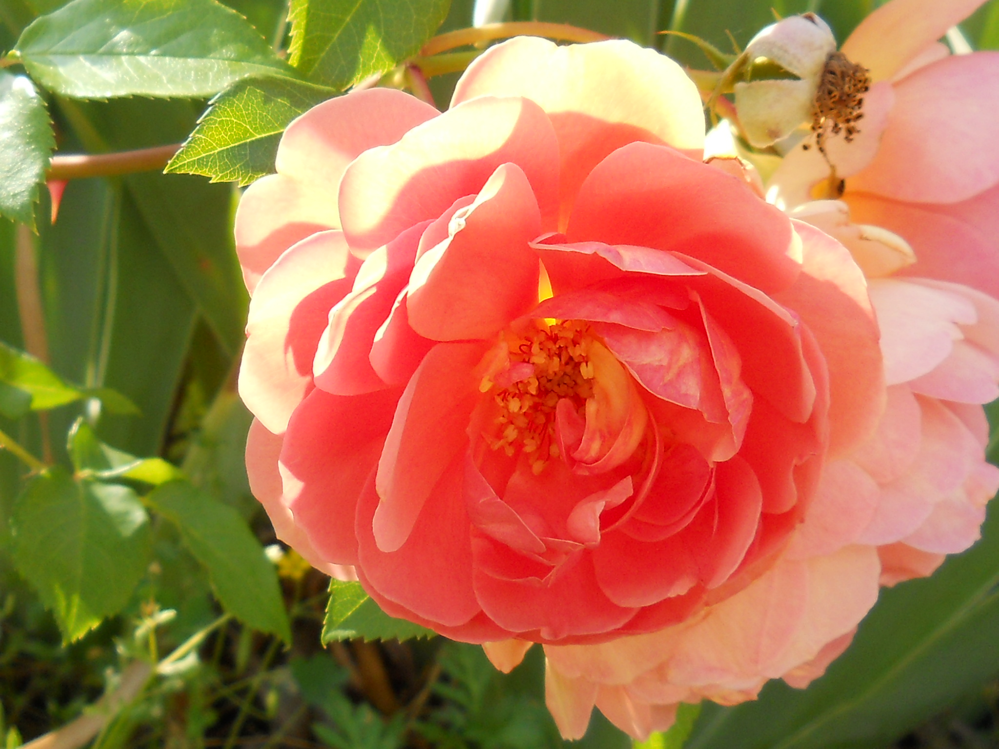 A rose is a rosea very beautiful rose nourys happy place well enough of me and my bad hair moment come to find out i kind of like it now it could be better maybe next time izmirmasajfo